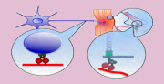 dynein in spatiotemporal signaling